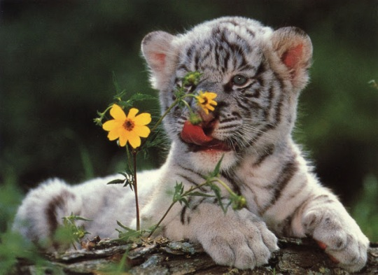 Tiger cub and flowers