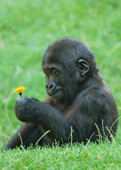 Gorilla with flower