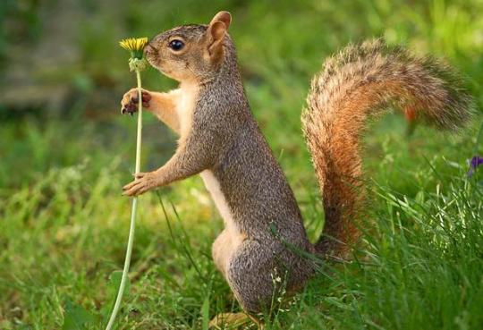 Squirrel sniffs flower