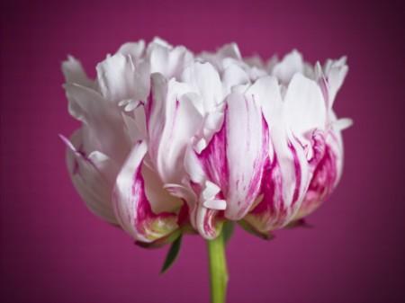 http://banmaihong.files.wordpress.com/2014/02/4d2d6-white-pink-peony.jpg?w=450&h=338