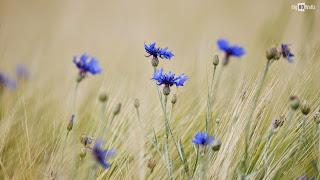 https://banmaihong.files.wordpress.com/2015/05/be527-blue-wild-flowers.jpg