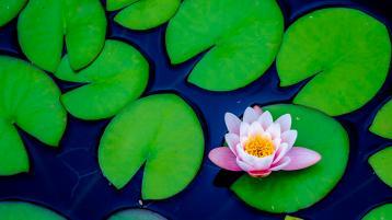 https://banmaihong.files.wordpress.com/2017/09/67271-lone-lotus-ching-wu.jpg