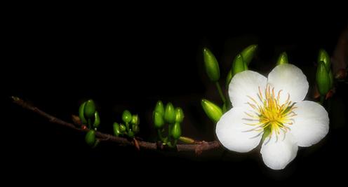 Kết quả hình ảnh cho hoa mai trong đêm