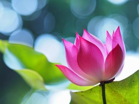 """Résultat de recherche d'images pour """"the best lotus flowers"""""""
