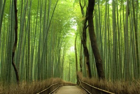 Image result for ARASHIYAMA BAMBOO GROVE 嵐山竹林.