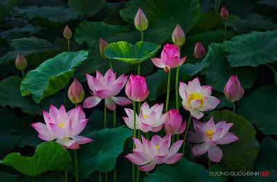 99 hình ảnh hoa sen đẹp nhất thế giới ~ Aksitkultur blog Hoa đẹp ...
