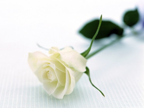 18+ hình ảnh đẹp hoa hồng trắng đẹp nhất thế giới ~ Shop hoa tươi ...